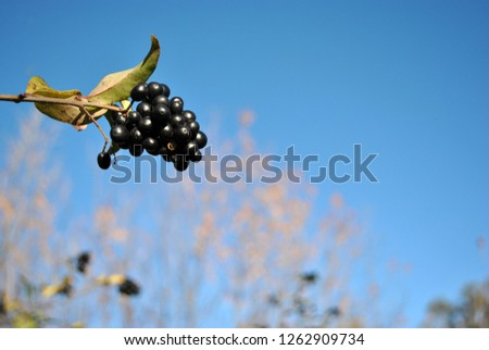 Ligustrum vulgare (wild privet, common privet, European privet) black ripe berries on branch with green leaves close up detail, soft blurry trees branches and blue sky background
