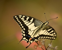 like a fighter jet ,picture of beautiful common yellow swallowtail butterfly ( papilio machaon )