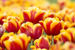 Like a fire - Jan Seignette (Triuph Tulip) Tulips with bold red blossoms adorned with a golden band around the edges