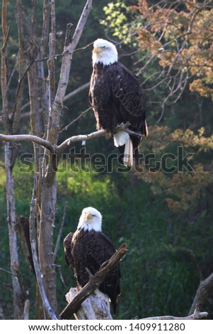 Like all birds of prey, eagles have very large, hooked beaks for ripping flesh from their prey, strong, muscular legs, and powerful talons. The beak is typically heavier than that of most other birds