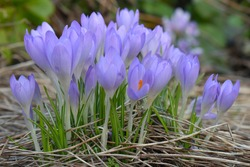 Like snowdrops and daffodils cup shaped flowers of early crocuses are a symbol of spring There are no native species of crocus in the UK all the wild are from bulbs that have spread from gardens parks
