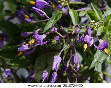 lila flowers and yellow pollen of Solanum Dulcamara - nightshade plant   Foto stock ©