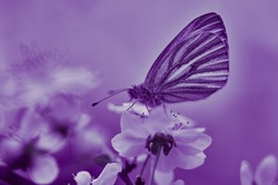 Lilac background with butterfly on a white flower. Beautiful natural background with delicate white flowers on and a butterfly sitting in bright sunlight. Natural background. Selective focus.