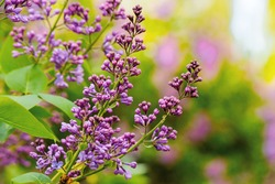 lilac blossom in the garden. beautiful nature background in spring on a sunny day. bunch of purple purple flowers on the twig of a green shrub