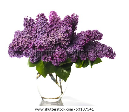 stock photo lilac bouquet isolated on whiteLlight violet flowers in glass