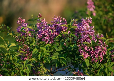 Lilac branch in springtime. Blossoming syringa. Pink florets of lilac spring in garden. Nature wallpaper blurry background. Toned image soft focus or selective focus. #1333948064