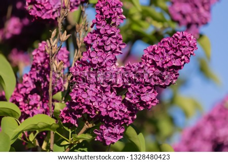 Lilac branch in springtime. Blossoming syringa. Red floret of lilac spring in garden. Nature wallpaper blurry background. Image soft focus or selective focus. #1328480423