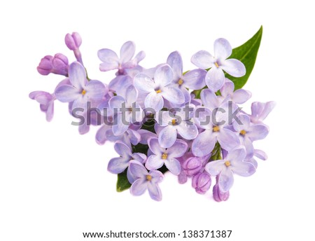 Lilac branch isolated on white background #138371387