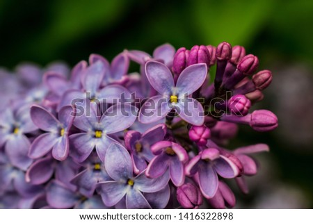 lilac branch. lilac flowers on the branch. lilac little lilac flowers