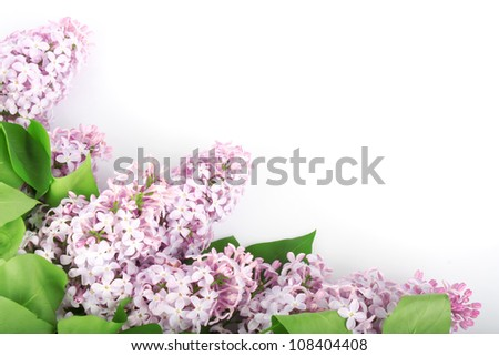Lilac branch purple, flowers with green leaves on white background