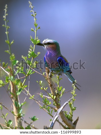 Lilac-breasted Roller (Coracias caudata) in Kruger National Park South Africa