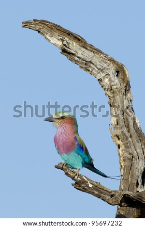 Lilac Breasted Roller (Coracias caudata) perched on a dead tree in South Africa's Kruger National Park