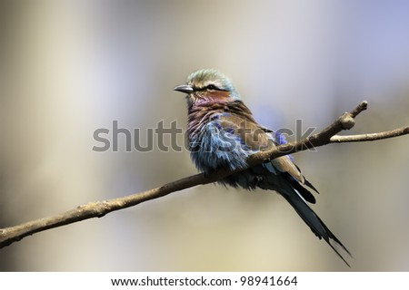 Lilac-breasted Roller (Coracias caudatus) is a member of the roller family of birds. It is widely distributed in sub-Saharan Africa and the southern Arabian peninsula.