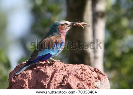 Lilac breasted roller perched on a branch Eating