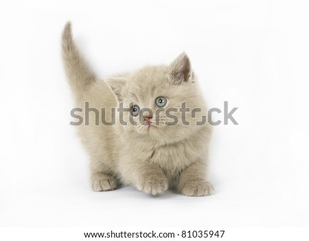 lilac  British kittens on white background