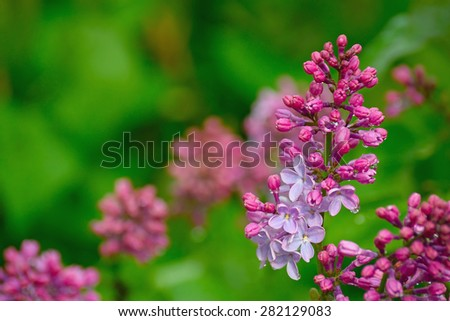 lilac buds and flowers in water drops after rain on blurred background.