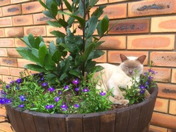 Lilac Burmese cat lying in an oak barrel flower pot with a Bay Leaf tree and purple flowers.