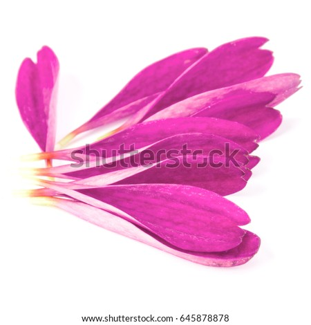Lilac chrysanthemum flower petals isolated on white background - Shutterstock ID 645878878