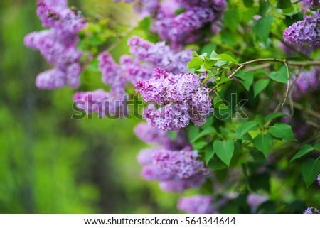 lilac flower #564344644