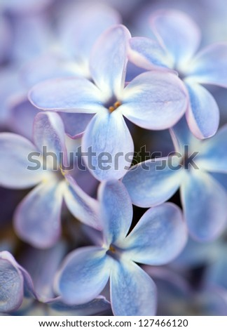 lilac flower close up