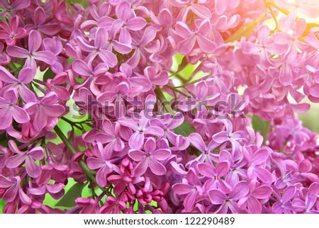 Lilac flower texture. Nature composition. #122290489