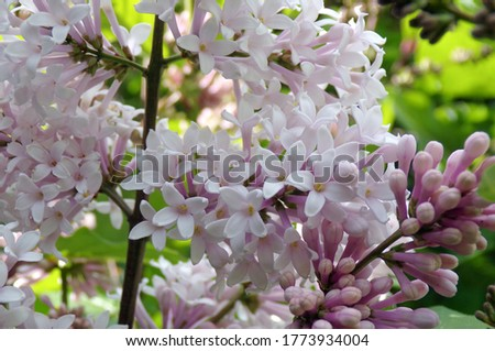 Lilac flowers. A sprig of blooming lilac close-up. Beautiful lilac flowers macro. Spring flowering lilac Bush.