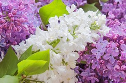 Lilac flowers background