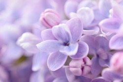 Lilac flowers close-up on blurred background