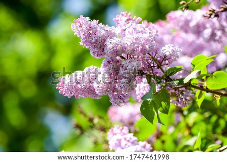 Lilac flowers close up view