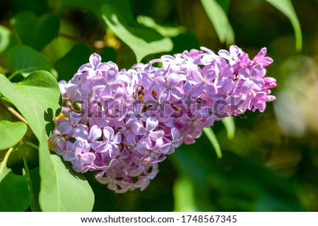 Lilac flowers close up view. Macro view of lilac flower