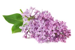 Lilac flowers closeup isolated on white background, closeup