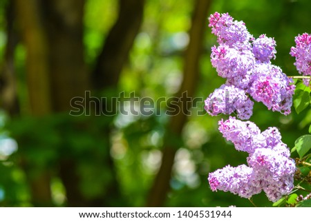 Lilac flowers in spring background. Spring blooming lilac blossom. Lilac blossom blooming. Spring lilac flowers