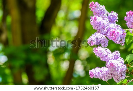 Lilac flowers in summer day