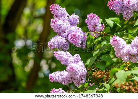 Lilac flowers in summer view