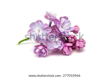 Lilac flowers isolated on a white background - Shutterstock ID 277010966