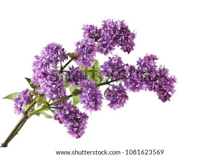 lilac flowers isolated on white background #1081623569