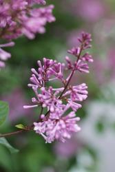 Lilac flowers, lilac bush, purple flowers