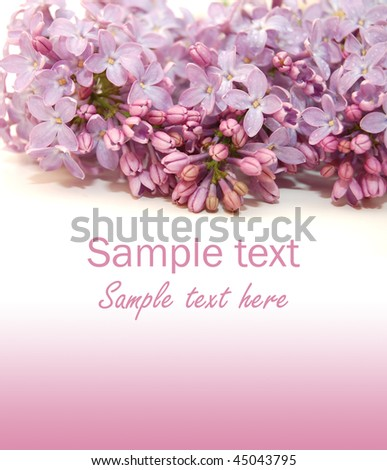 Lilac flowers on white background - stock photo
