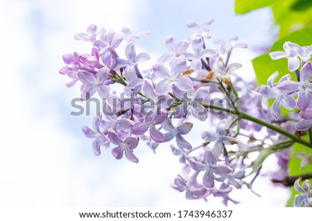 Lilac flowers spring blooming scene. Blossom lilac flowers in spring. Spring lilac flowers blooming. Spring lilac bush blooming