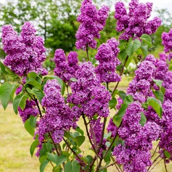 Lilac flowers.Syringa vulgaris (lilac or common lilac).