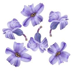 Lilac Hyacinthus flower isolated on white background