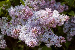 Lilac inflorescence in the springtime, close up. Flowering shrub of Common lilac