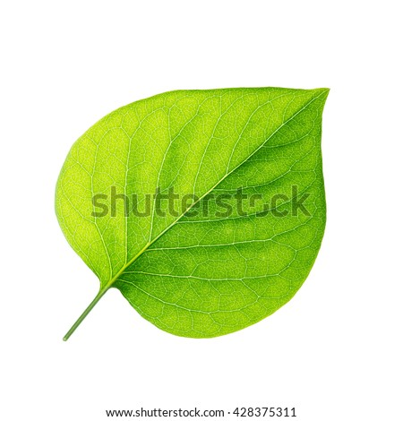 Lilac Leaf Isolated on White