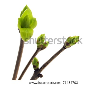 lilac leaves bud on a white background