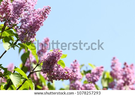 Lilac. Lilacs or syringe. Colorful purple lilacs blossoms with green leaves. Floral pattern. Lilac background texture. Lilac wallpaper. No sharpen. Copy space for text and frame with flowers
