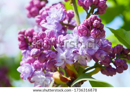 Lilac. Lilacs, syringa or syringe. Colorful purple lilacs blossoms with green leaves. Floral pattern. Lilac background texture. Lilac wallpaper