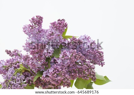 lilac on a white background #645689176