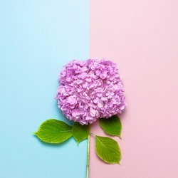 Lilac pink hydrangea flower on pastel blue and pink flat lay background. Mothers Day, Birthday, Valentines Day, Womens Day, celebration concept. Top view Floral border with copy space.