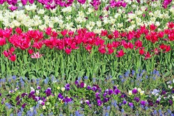 lilac red and white tulips on flower bed in city. Springtime garden. Red white and lilac tulips planted in garden. Colorful tulips in flower bed. Beautiful spring flower tulips in garden