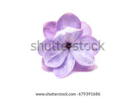 Lilac single flower isolated on a white background